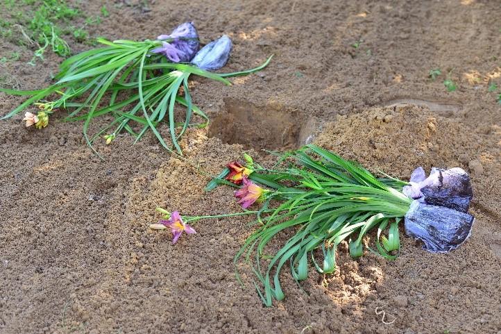Planting Daylilies: Green Thumb Optional