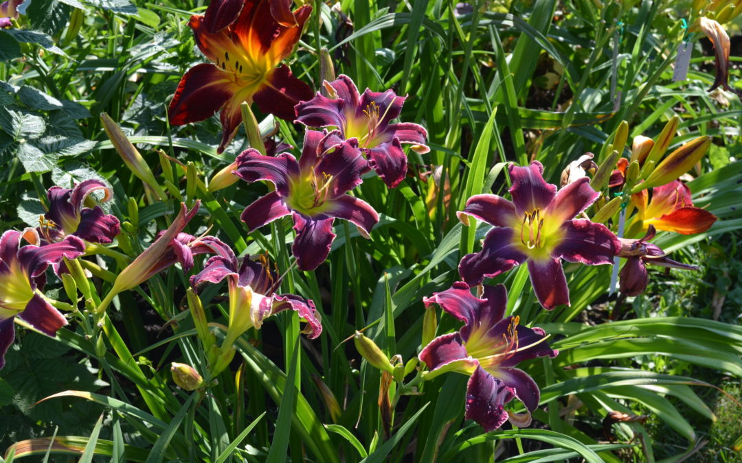 Why We Love Daylilies (And You Should Too)