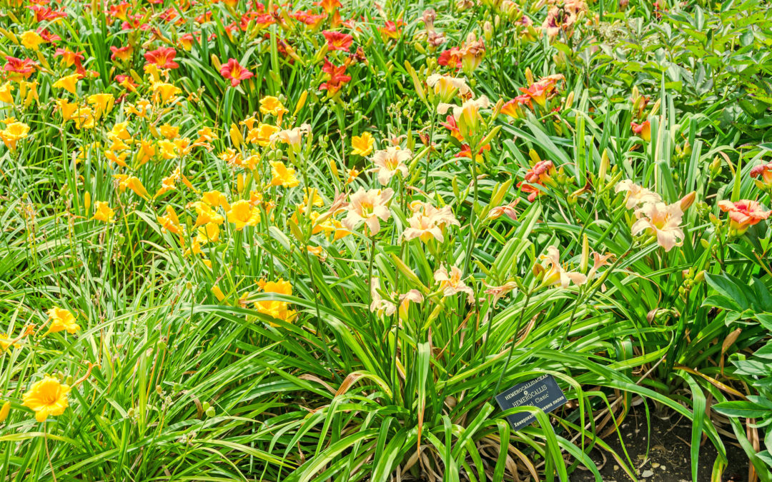 Everything Old Is New Again: 5 Reasons to Grow Historic Varieties of Daylilies