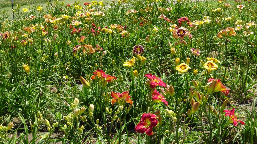 Daylilies vs. Lilies