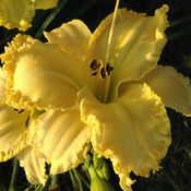 Buttered Petals