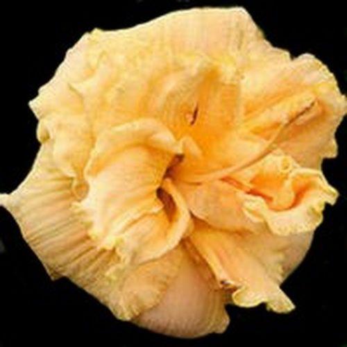 Apricot Cream Truffle